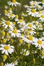 Camomile Royalty Free Stock Photography - 15042727