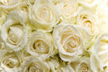 White Rose Royalty Free Stock Images - 15069649