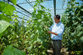 Farmer Checking Cucumbers Stock Photography - 15071602