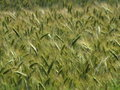 Field Of Rye Royalty Free Stock Photo - 15074825