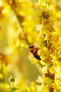 Bee And Yellow Flower Royalty Free Stock Photography - 15098657