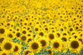 Sunflowers Field Royalty Free Stock Photos - 1517958