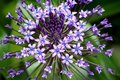 Portuguese Squill, Detail Royalty Free Stock Photography - 15160787