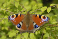 Peacock Butterfly - Inachis Io Stock Photo - 15166920