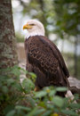 American Bald Eagle Nature Bird Wildlife Stock Image - 15173411