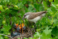 Lesser Whitethroat, Sylvia Curruca Royalty Free Stock Photo - 15175015