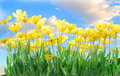 Yellow Tulips Stock Photos - 15177063