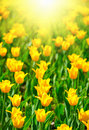Many Tulips Stock Photography - 15186492