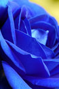 Close-up Of Blue Rose Royalty Free Stock Photo - 15189235