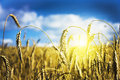 Field Of Ripe Wheat Royalty Free Stock Images - 15195409