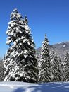Snow On Firs Stock Photo - 1525410