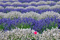 Lavender Royalty Free Stock Images - 15209329