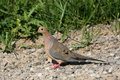 Mourning Dove Royalty Free Stock Photos - 15211018