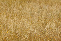 Oat Field Texture Stock Photography - 15267522