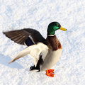 Duck Royalty Free Stock Image - 15273326