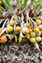 Close Up Of Palm Tree Fruit Royalty Free Stock Photography - 15298947