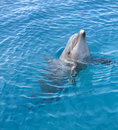 Bottle-nosed Dolphin Stock Photos - 15311003