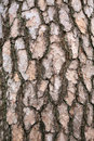 Bark Of A Pine Tree Royalty Free Stock Photography - 15311547
