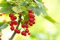 Red Currant Royalty Free Stock Photo - 15325915