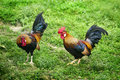 Chickens Stock Photography - 15350262