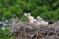 Stork With Its Baby Bird Royalty Free Stock Photo - 15370225