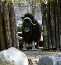 Musk Ox Stand In Zoo Stock Photo - 15389030