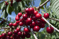 Cherries Close-Up Royalty Free Stock Image - 15392066
