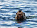 Sea Lion Head Royalty Free Stock Images - 15416949