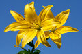 Yellow Lily Stock Images - 15423064
