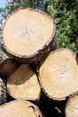 Birch Logs Close Up Royalty Free Stock Photo - 15426375