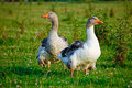 Geese Stock Images - 15443874