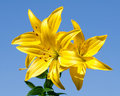 Yellow Lily Royalty Free Stock Image - 15448576