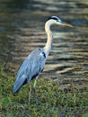 Grey Heron Royalty Free Stock Photography - 15451527