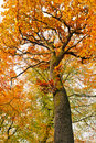 Colorful Autumnal Oak Tree Stock Photography - 15459342