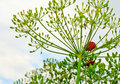Beetles On Dill Royalty Free Stock Photography - 15463217