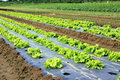 Field Of Salads Stock Photo - 15477620