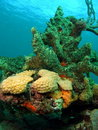 Coral Royalty Free Stock Image - 15479046