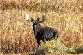 Bull Moose In Cattails Stock Image - 1551201