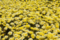 Patch Of Yellow Daisies Royalty Free Stock Photography - 15507897