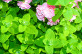 Apple Mint And Rose Stock Photos - 15512943