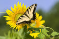 Butterfly On Sunflower Royalty Free Stock Photography - 15528527