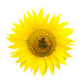 Two Bees On A Sunflower Stock Photo - 15537760