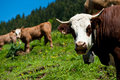 Alpine Cow Close-up Stock Image - 15546901