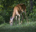 Morning Meal For A Deer Royalty Free Stock Photo - 15571675