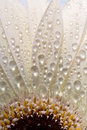 Macro Close Up Of A Daisy Flower Stock Photography - 15580292