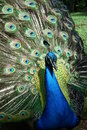 Peacock Flare Out Stock Images - 15592964
