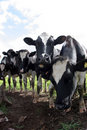 Cows Stock Image - 1560921