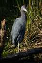 Little Blue Heron Stock Images - 1567904