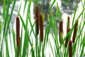 Cattails Stock Photos - 1569613