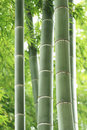 Bamboo Forest Stock Photos - 15629093